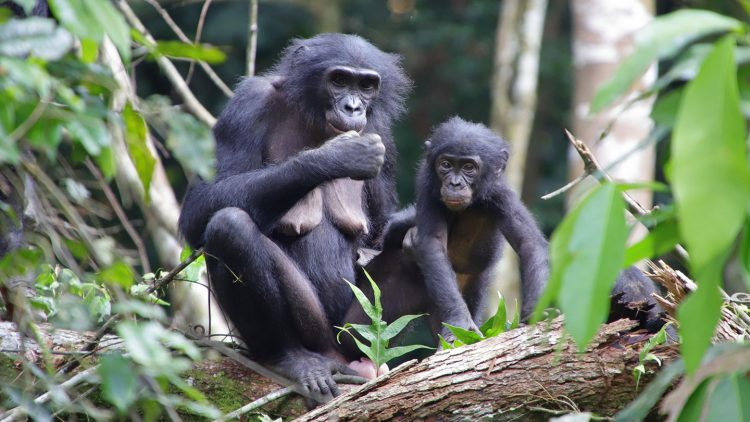 Lessons And Analogies To Work Non-Human Bonobos Democracy